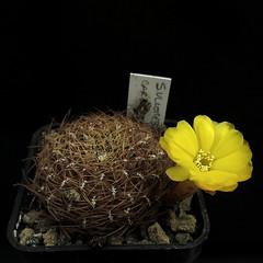 Sulcorebutia cardenasiana PHA278 '121' (Pequenos Electrodomésticos) Tags: cactus cacto flower flor sulcorebutia sulcorebutiacardenasianapha278