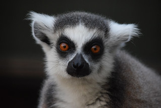 Ring-tailed lemur @ Landgoed Hoenderdaell 22-04-2017