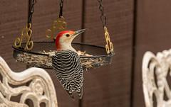 Red Bellied Woodpecker (Dotsy McCurly) Tags: bird redbelliedwoodpecker nature beautiful food eating yard closeup nj newjersey nikond850 nikonafsnikkor200500mmf56eedvr 7dwf