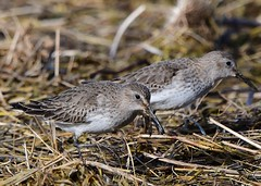 Dunlin (gillybooze) Tags: teleconverter14 ©allrightsreserved bird dunlin birdwatcher reeds wildlife feathers framptonmarsh wader shore 600mmf4