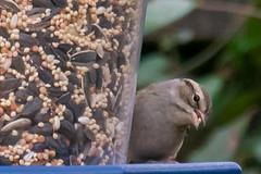 Sparrow Chew (chrishil1973) Tags: sparrow bird nature tiny wildlife wilderness