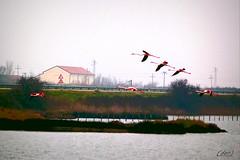 ___ in volo! ___ (erman_53fotoclik) Tags: canoa eos 500d uccelli fenicotteri volo ali rosse rosa valli deltadelpo trampolieri volare erman53fotoclik