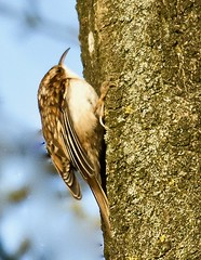 Treecreeper - Taken at Sywell Country Park, Sywell, Northamptonshire. UK (Ian J Hicks) Tags: