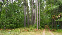Northern Wisconsin (PDX Flyer) Tags: forest tree wood grass road trail sky green brown pine fur deciduous coniferous fern pinecone cone calm peaceful tranquil wisconsin north northern america states united usa
