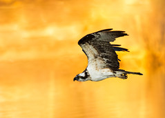 Blazing Osprey (gilamonster8) Tags: osprey bird pond lack fire smoke blaze ngc 7dmarkii canon color flickrelite flight fly falcon hawk quality arizona wing water white orange yellow explore eos explored ef400mm56l animal