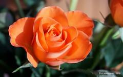 Rose (ditmaliepaard) Tags: rose roos bloem flower boeket a6000 sony coth coth5