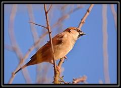 """Sparrow Blues...?"" (NikonShutterBug1) Tags: nikond7100 tamron70300mm birds ornithology wildlife nature spe smartphotoeditor birdfeedingstation bokeh birdsfeeding sparrow"