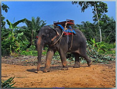 Asiatische Elefanten (Peterspixel from Peter Althoff) Tags: elefant animal khaolak thailand hdr