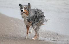 Big Shake (peterkelly) Tags: digital canon 6d whetley ontario canada northamerica greatlakes lakeerie shoreline shore water dog australianshepherd shaking beach sand littledoglaughedstories