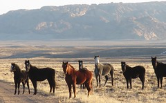 They had never seen a grown woman cry (prairiegirrl) Tags: wildhorses mustangs keepwildhorseswild wildplaces publiclands greenmountain wyoming