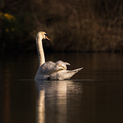Swan in afternoon light (iantaylor19) Tags: swan britishbirds brandonmarsh warwickshirewildlifetrust