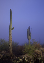 Tum032_small (patcaribou) Tags: tucson tumamochill sonorandesert fog cactii saguarocactus