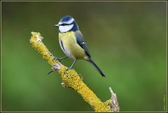 N° 898 / Mésange bleue ( Cyanistes caeruleus ) Focus Distance : 4.47 m (Norbert Lefevre) Tags: perchoir bokeh plumage mésange passereau nikon d500 300mmf4