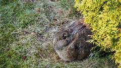frierendes Kaninchen (p.schmal) Tags: olympuspenf hamburg farmsenberne kaninchen