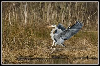 IMG_0158 Grey Heron
