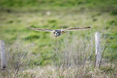 ''Short Eared Owls'' (marcbryans) Tags: portlandbill dorset uk short eared owls birdsofprey telephoto outdoors flight bird nikond500 nikkor200500mmf56e