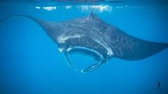 Manta Point - Komodo National Park, Indonesia (Guiyomont) Tags: manta ray fish water ocean sea subwater experience scuba diving snorkeling indonesia komodo travel