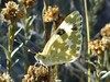 Mariposa (2) (calafellvalo) Tags: mariposabutterflypapallonamacro flores insectos mariposas abejas insects insectes papillons butterflies bees primavera spring flowers calafellvalo