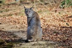 Lynx (Hugo von Schreck) Tags: hugovonschreck luchs lynx cat katze canoneos5dsr greatphotographers tamronsp150600mmf563divcusda011 fantasticnature