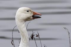 Snow Goose and their bill (snooker2009) Tags: bird goose geese snow wildlife nature migration winter fall spring teeth bill beak waterfowl
