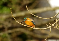 endcliffe park kingfisher sheffield 2018 (8) (Simon Dell Photography) Tags: endcliffe park bingham whitley woods forge dam kingfisher bird rare blue orange winter spring grey animal nature together wildlife sheffield botanical gardens simon dell photography 2018 feb 24 sunny detail high res perched sitting fishing