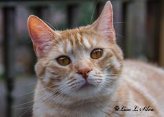 Pika - Explored (Silva's Aragorn1229) Tags: cat pika pikachu pokemon feline pet love cute trouble portrait rescue eyes explore explored nikond5200 nikon tabby