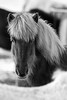 Inslandpferd #islandpferd #islandpferde #pferde #sw #nikon #d750 #tiere #animal #horse #horses #islandhorse #tierportrait #blackandwhite (ThoHo70) Tags: d750 islandpferd sw islandpferde tierportrait pferde nikon tiere horse islandhorse blackandwhite animal horses