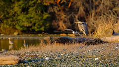 A great blue heron soaks up the last rays of the day's sunshine. (david byng) Tags: esquimaltlagoon beach winter vancouverisland pacificocean birds canada britishcolumbia heron