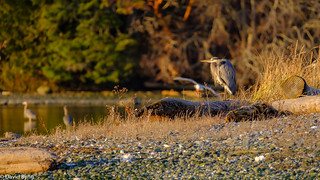 A great blue heron soaks up the last rays of the day's sunshine.