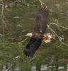Showing Off A Dirty Tail (John Kocijanski) Tags: eagle baldeagle bird birdofprey raptor animal wildlife nature canon70300mmllens canon7d trees