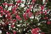 IMG_1645 (okiee8125) Tags: 梅の花