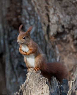 Eichhörnchen | Squirrel