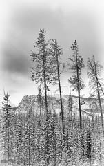 Reach For The Skies (maureen.elliott) Tags: trees blackandwhite landscape nature mountains skies yellowstonenationalpark wyoming winter 7dwf