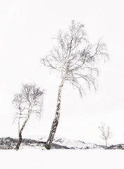 Three Trees, Hodge Close, nr Coniston, Lake District (MelvinNicholsonPhotography) Tags: hodgeclose cumbria lakedistrict coniston holmefell quarry hodgeclosequarry trees silverbirches silverbirch canon5dmk4