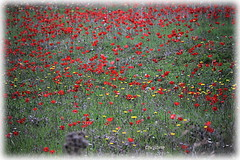 allegria.. (christinehag) Tags: anémones rouge red wildflowers landscape