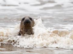 Splash (daveh_72) Tags: greyseal sea seals mammals wildlife nature coast panasonic lumix g80 g85 canon 400mmf56l legacy manualfocus