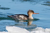 Red-breasted Merganser, transitional, Brant Point, ACK (LeeDunnPhotos) Tags: brantpoint frozen goodlight harbor ice redbreastedmerganser sun youngmale