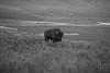 D75_6808 (captured by bond) Tags: bison yellowstone nationalpark wildlife capturedbybond burger