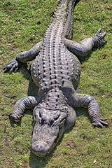 Ex Weight Watchers Spokesman (Darts5) Tags: alligator alligators reptile gator gators americanalligator closeup canon7d2 canon7dmarkll canon7dmarkii canon canonef100400mmlii ef100400mmlll 7dmarkll 7d2 7dmarkii 7d2canon evergladesnationalpark everglades sharkvalley