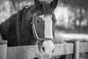 "Hinault (""Henry"") (Lee J2) Tags: hinault henry horse dutchwarmblood aged equine ryerssfarm retired bw black white"