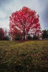 red tree (ashercurri) Tags: tree red autumn leaf landscape sony a7ii