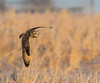 Short-eared Owl (Brian_Harris_Photography) Tags: short eared owl sunlight nature wildlife raptor bird prey brown black yellow white winter hunting hiking exposure eye flying grasslands
