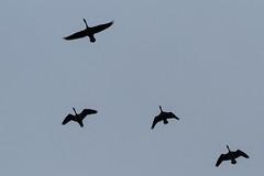 Dixon_JB_431_3919 (Joanne Bouknight) Tags: bunkhouse dixonwaterfowlrefuge flying geese illinois mist morning rain storm thewetlandsinstitute yard