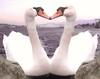 A little bit of artistic Heart for my beloved FlickrFriends, 7dwf (evakongshavn) Tags: 7dwf hearts swans swan animal animalportrait animals animalphotography wildanimals love crazytuesday crazytuesdaytheme heart water ocean sea