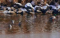 Northern Pintails- Bottoms Up (eddyandtroymike@yahoo.com) Tags: colorado ducks dabblers