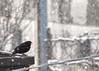 Frozen!!!!!!!!!!!!! (davidetavian72) Tags: frozen ghiaccio merlo animali uccelli inverno neve sigma70300 nikon d3300