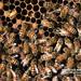蜜峰,養蜂,蜂蜜,蜂王,蜂窩,女王蜂,蜂巢,甜蜜,營養,採蜜,養蜂場,活躍