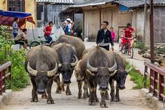 Uhni z cesty! (zcesty) Tags: zvířata vietnam26 domorodci buvol vietnam dosvěta làocai vn