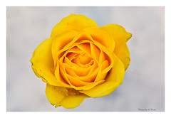 Yellow rose in the snow (Graham Pym) Tags: yellow rose flora snow garden petals nikon flower ice nature