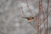 Brambling (Male) (Colin Rigney) Tags: nature wildlife irishwildlife ireland colinrigney snowyweather snow gardenbirds birds avian outside outdoors branch brambling canon